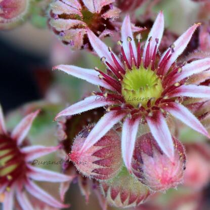 Sempervivum Tectorum ou Joubarbe des toits - La fleur