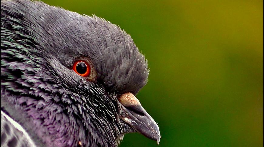 Portrait d'oiseau (2) :  l'oeil du pigeon