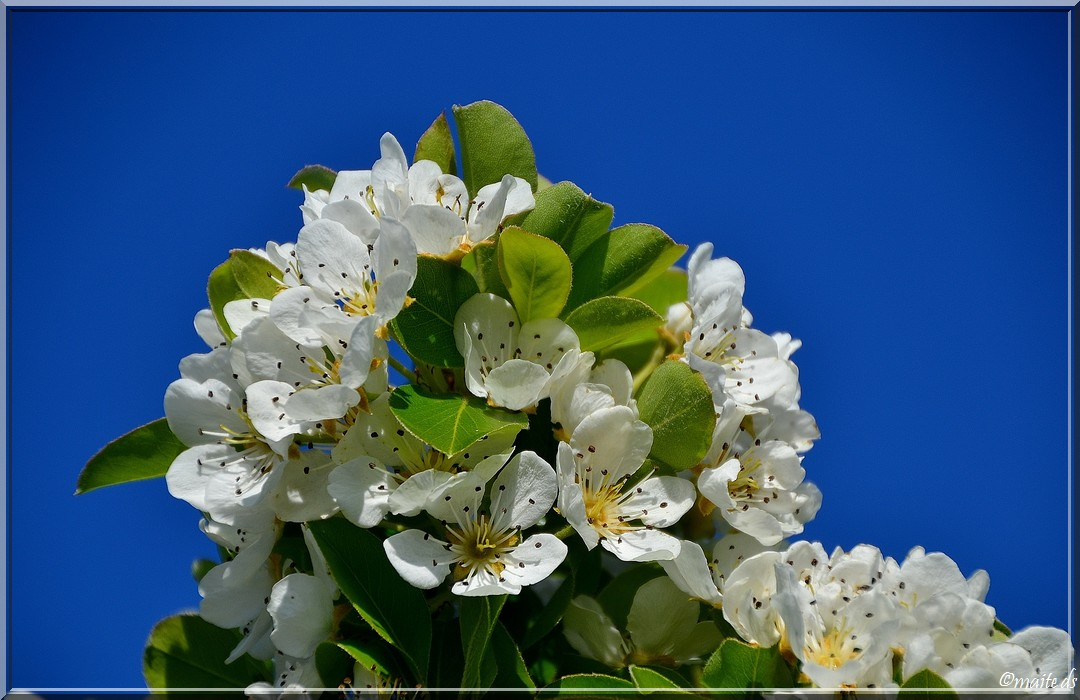 Fleurs sauvages - Seringat ou jasmin du poête