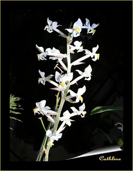 ludisia-en-fleurs-2.jpg