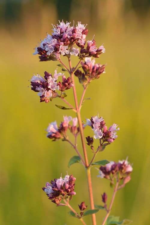 Vertus médicinales des plantes sauvages : Origan