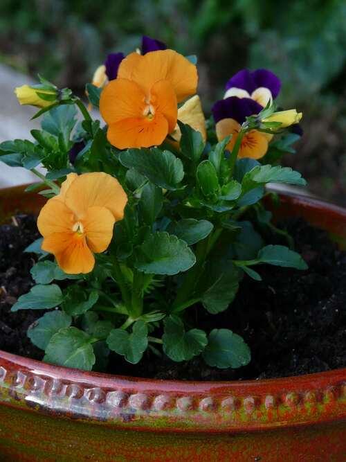 Violas cornuta