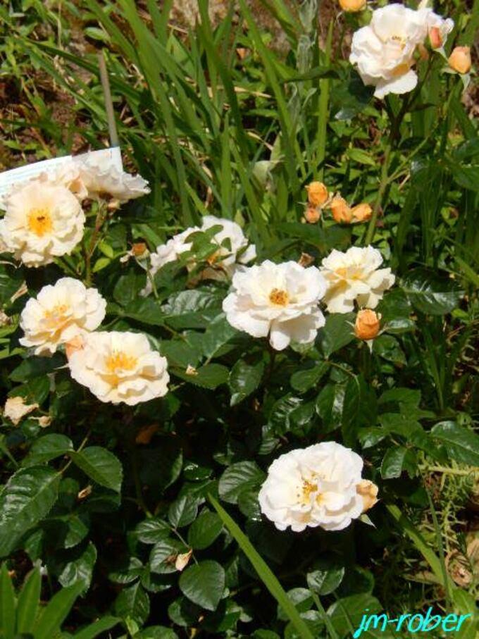 Une histoire de Roses avec deux nouveaux Rosiers au jardin