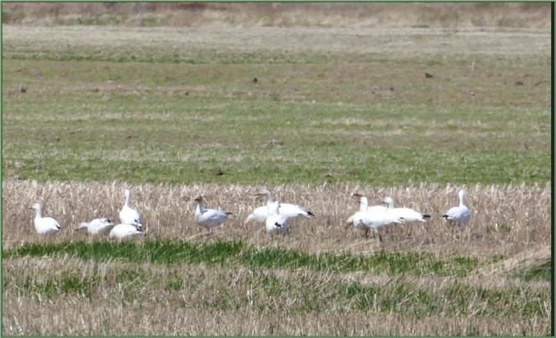 L'Oie des neiges (appelée Oie blanche au Canada)