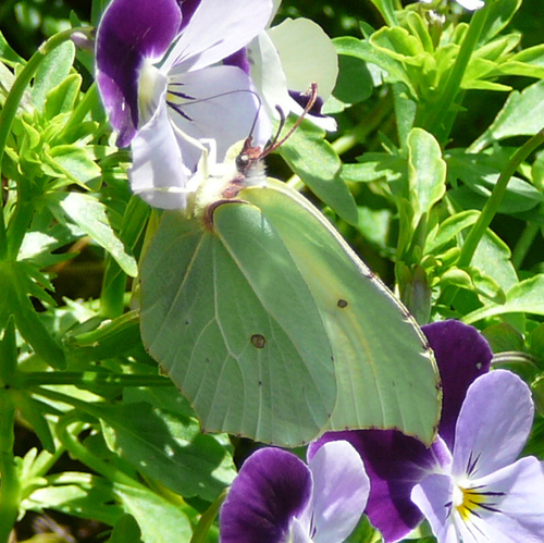 Le papillon Citron - Gonepteryx rhamni