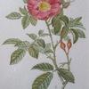 Rose de Portland