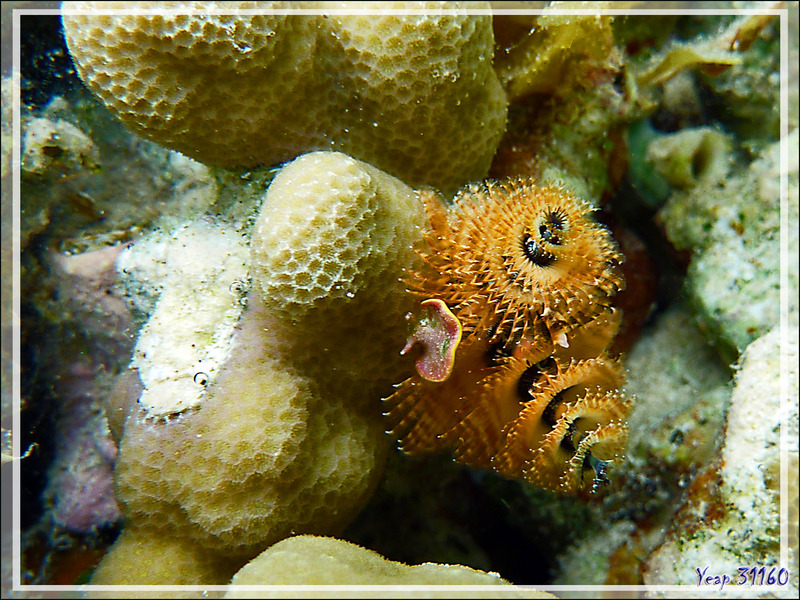 C'était encore Noël avant la date ... Spirobranche arbre de Noël, Christmas tree worm (Spirobranchus giganteus) - Jardin de Corail - Motu Tautau - Taha'a - Polynésie française