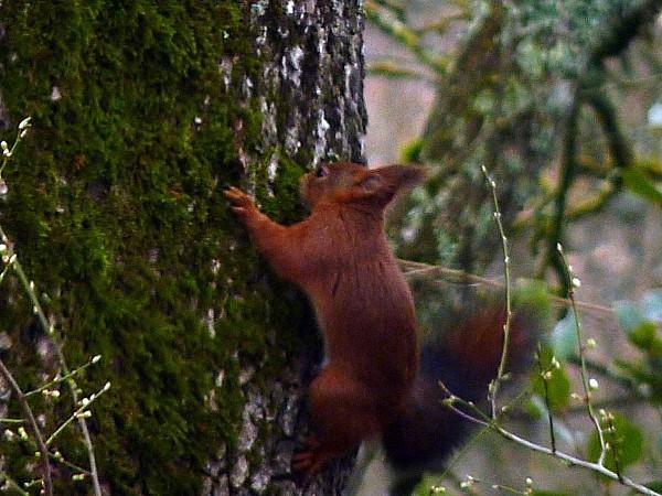 Ecureuil dans le chene