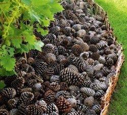 15 belles idées récup et recyclage pour le jardin ! Avec des pommes de pin, faites un paillis pour vos parterres..  100 % récup et 100 % naturel, ce paillis en pommes de pin gardera l'humidité de vos plantes et évitera la pouce des mauvaises herbes.: