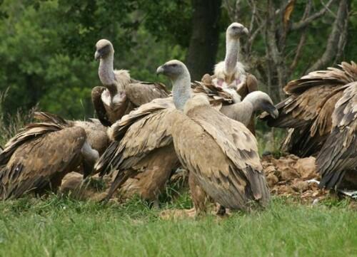 Des vautours dans l'Aude