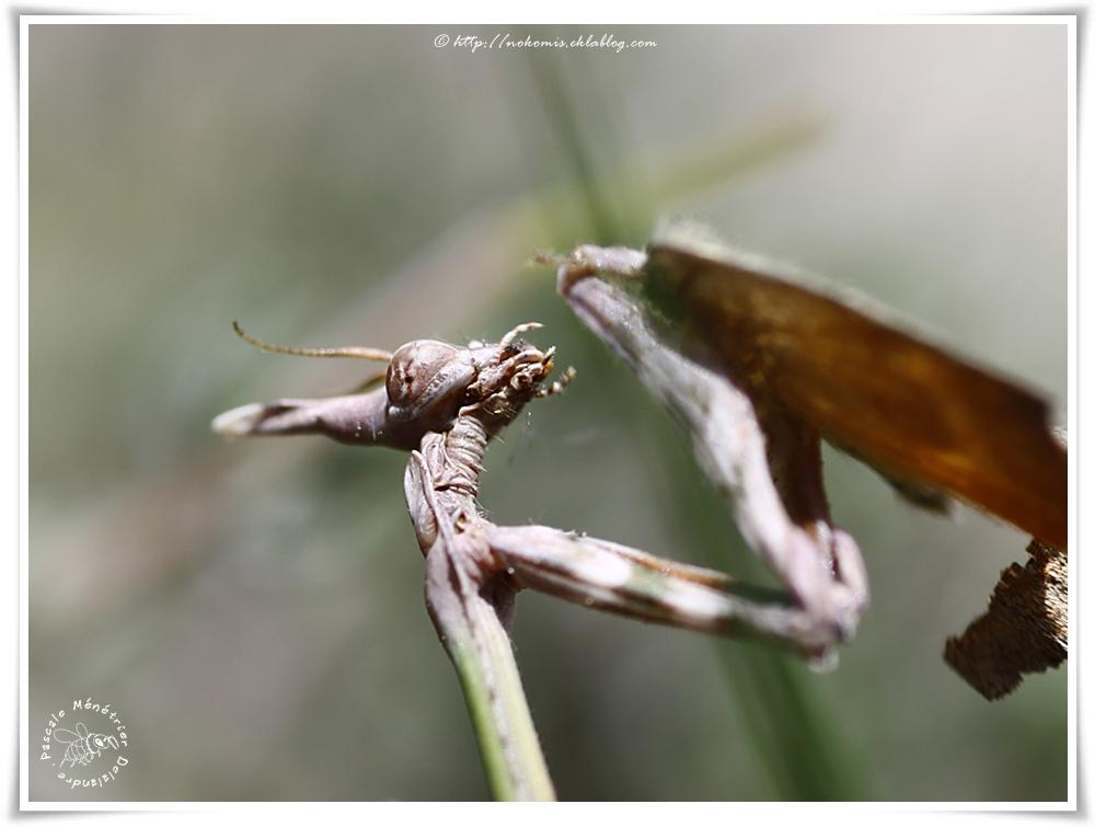 """Empusa pennata - Empuse commune (immature, appelé """"diablotin"""")"""