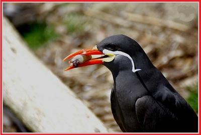 L'oiseau à moustaches