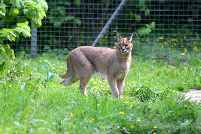 Caracal ou lynx de Perse