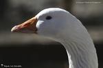 Oie blanche