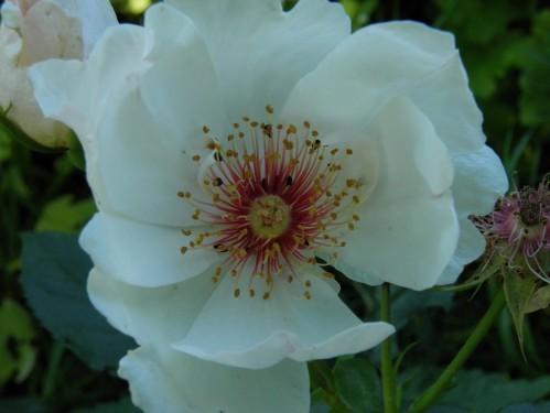 jaqueline dupré rosa