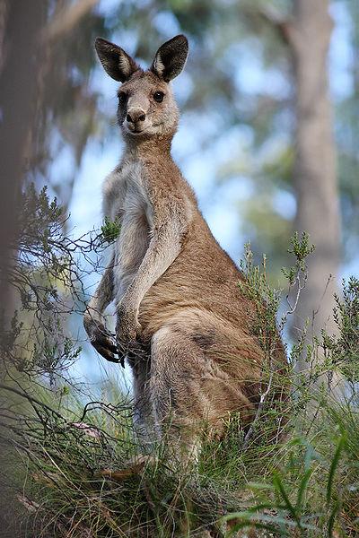 400px-Eastern grey kangaroo dec07 02