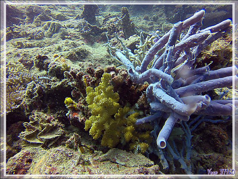 Éponge tubulaire Haliclone pâle, Colonial tube-sponge (Siphonochalina siphonella) - Nosy Mitsio - Madagascar