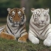 tigre blanc 14