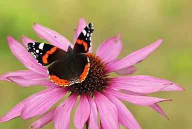 Papillons ...