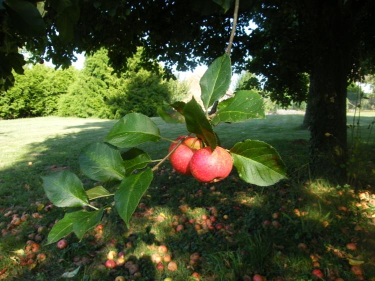 Les Pommes de Moisson