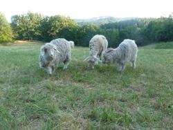 Quelques photos avant la tonte des chèvres