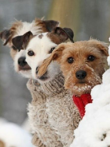 Little dogs wearing cute little sweaters in the cold snow of winter.