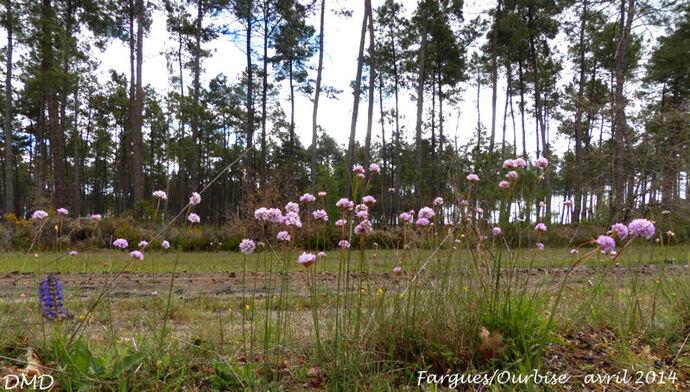 Armeria arenaria  -  armérie des sables