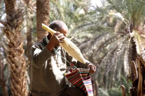 Dattes et palmiers