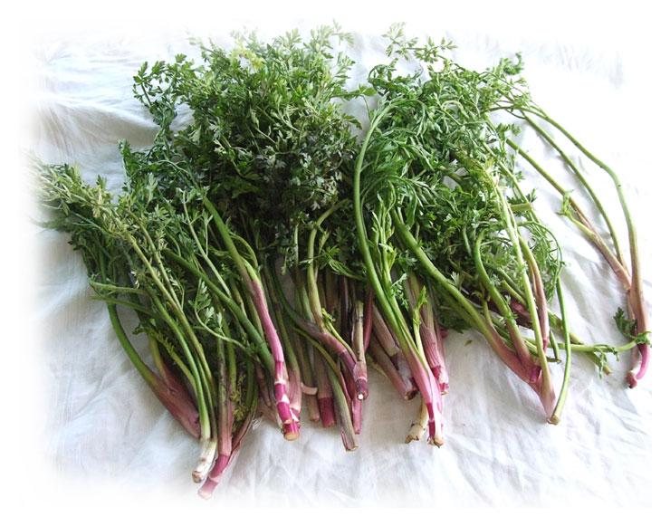 celeri-sauvage