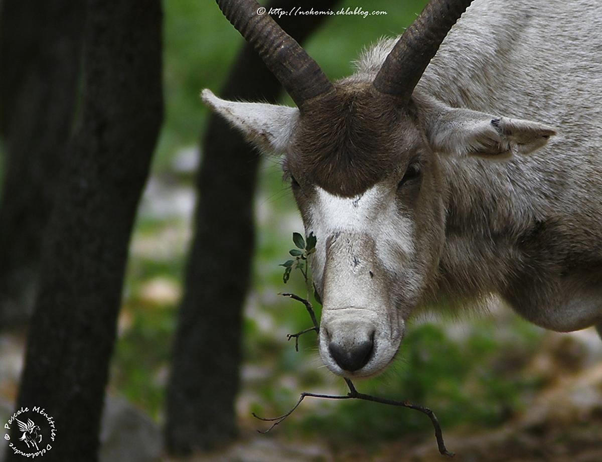 Addax nasomaculatus (Addax)
