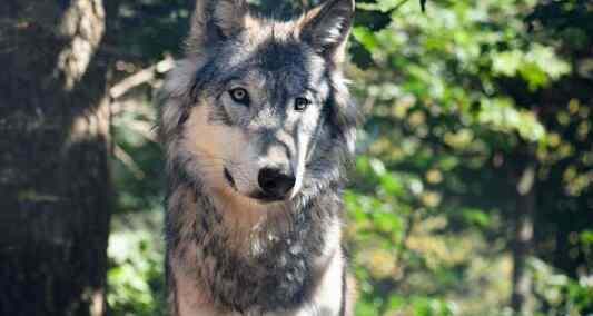 CP : Troupeaux de montagne peu protégés: c'est le loup qui trinque!