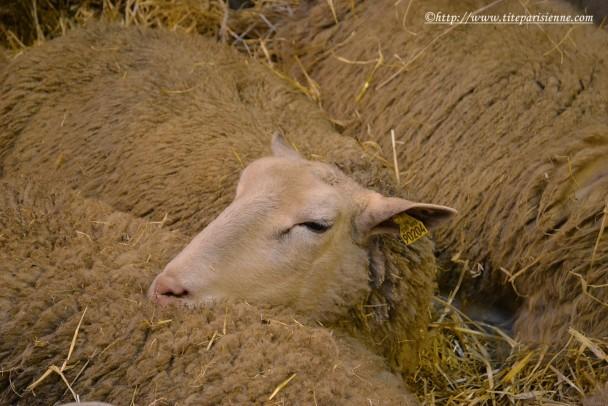 28 février 2012 Moutons Salon de l'Agriculture 1