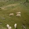 Vaches sur le versant espagnol de la montagne d'Arlas