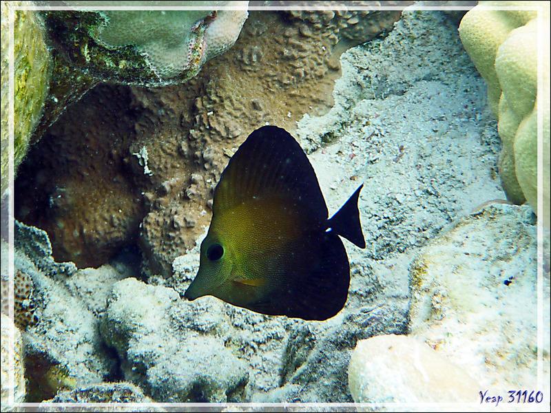 Chirurgien-voile brun, Twotone tang (Zebrasoma scopas) - Lagon de la Pension Kuriri - Maupiti - Polynésie française