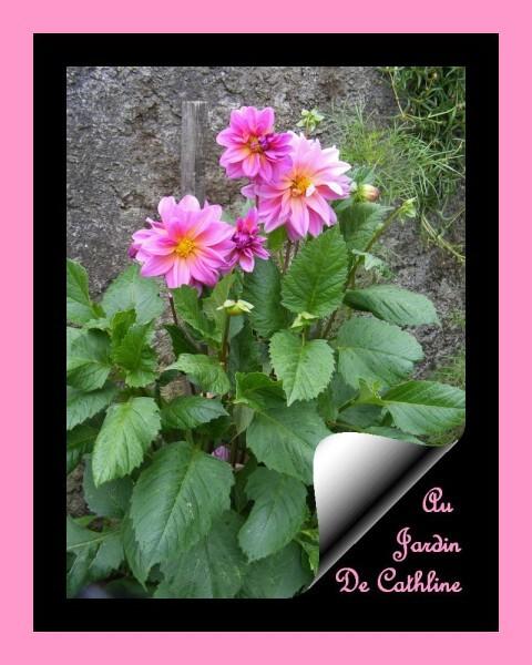 dahlia--rose--21-juillet-2014---17-.JPG