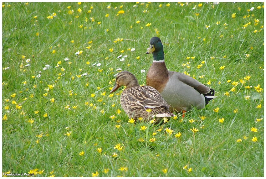 Pornic, les canards colvert en plumage nuptial