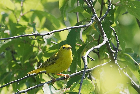 800px-Yellow Warbler 20090628 6831 3675254124