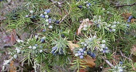 juniperuscommunisc