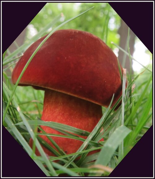 Oui...un champignon de velours...