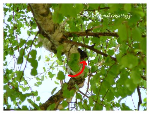 Pas de pigeonneaux, un merle - No squab, a blackbird