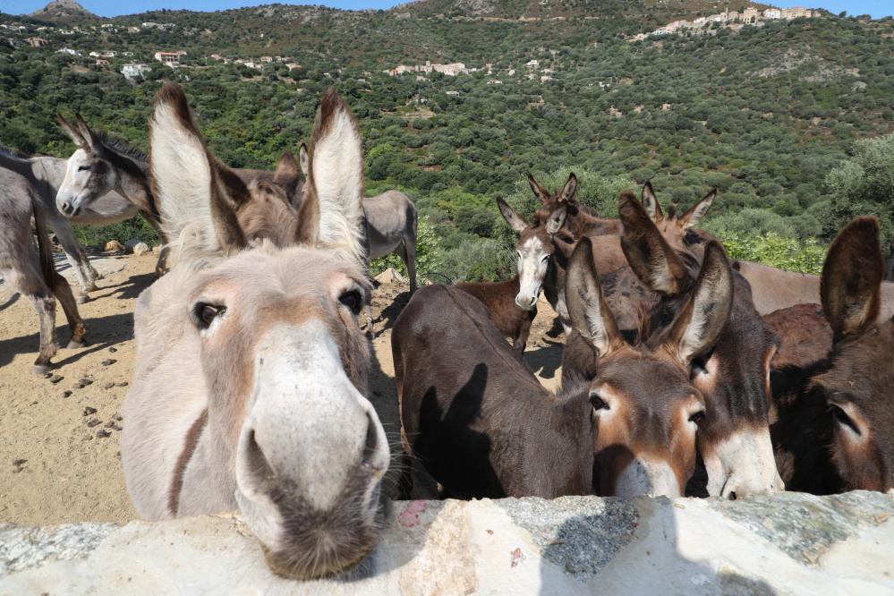 L'âne corse est désormais la huitième race asine de France.