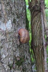 Helix Aspersa Aspersa ou Escargot Petit-Gris