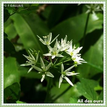 Ail des ours-Allium ursinum