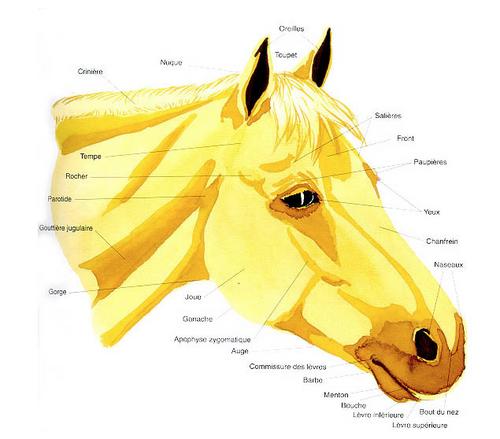 Les parties de la tête du cheval