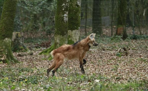 Loup-3