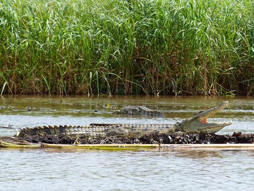 les crocodiles d'Afrique