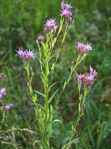 Fête à la Roseraie J - 5 : Philosophica botanica (plantes indigènes)