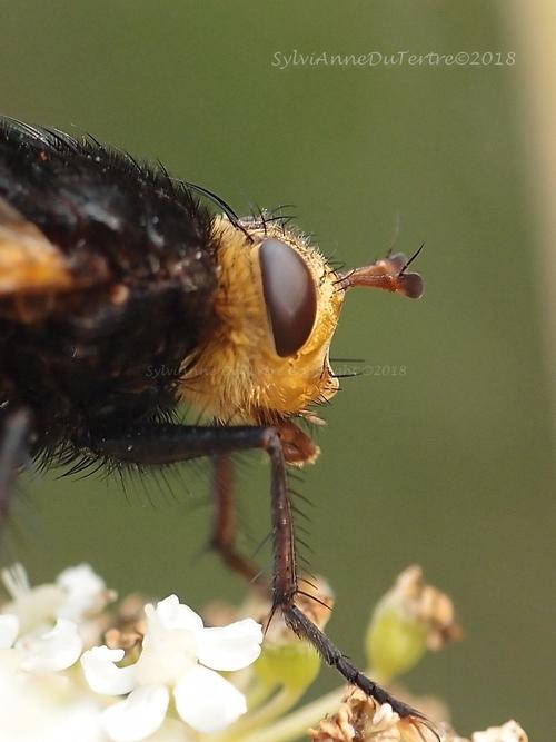 Tachina grossa,  l'échinomyie grosse ou tachinaire corpulente