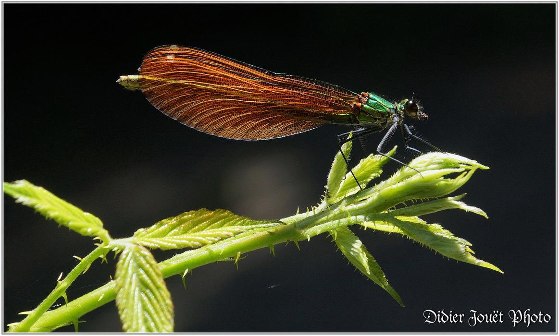 Caloptéryx Vierge / Calopteryx virgo