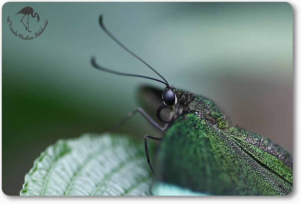 Papilio palinurus -  papilionidae -  Philippines